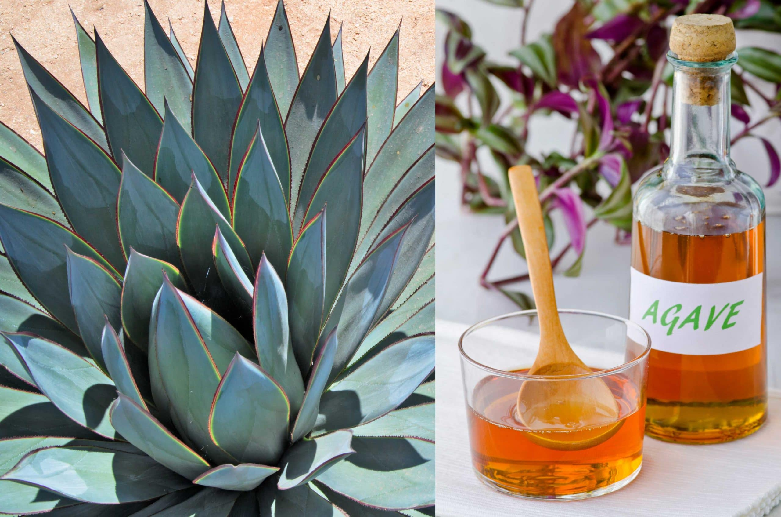 Photo  of an agave plant in the wild and next to that photo is a photo of a glass bottle with a cork of agave nectar and next to the bottle is a small glass bowl of nectar with a wooden spoon in the bowl.